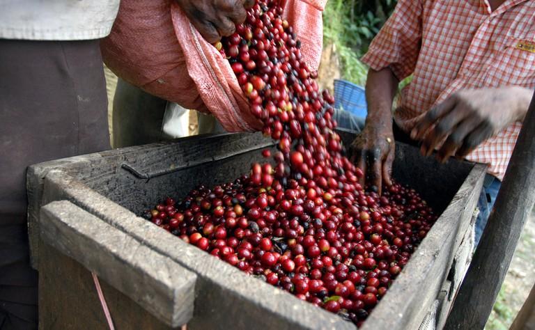 Coffee beans in Guatemala | © haak78/Shutterstock