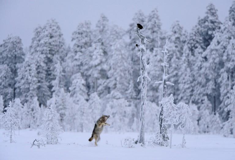 'Wolf jumping' | © Lassi Rautiainen
