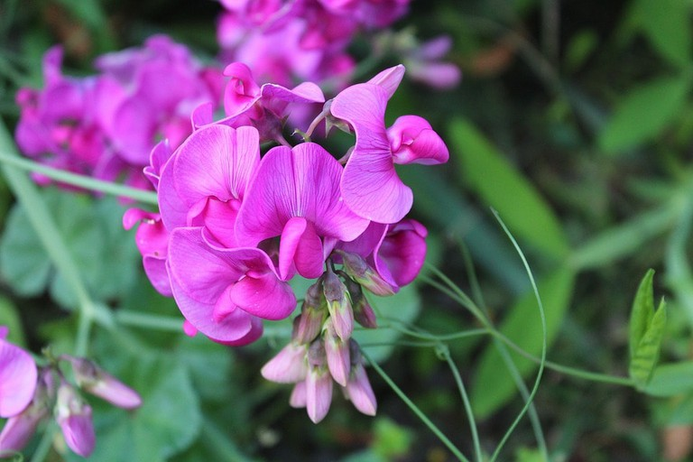 sweet-pea-scented-2766022_960_720