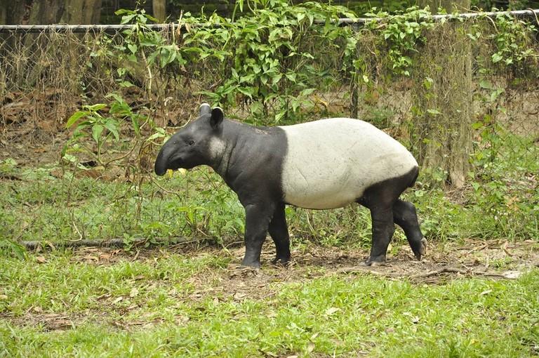 Malayan tapir, Taman Negara's mascot