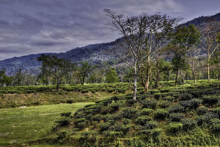 Tea Garden Assam