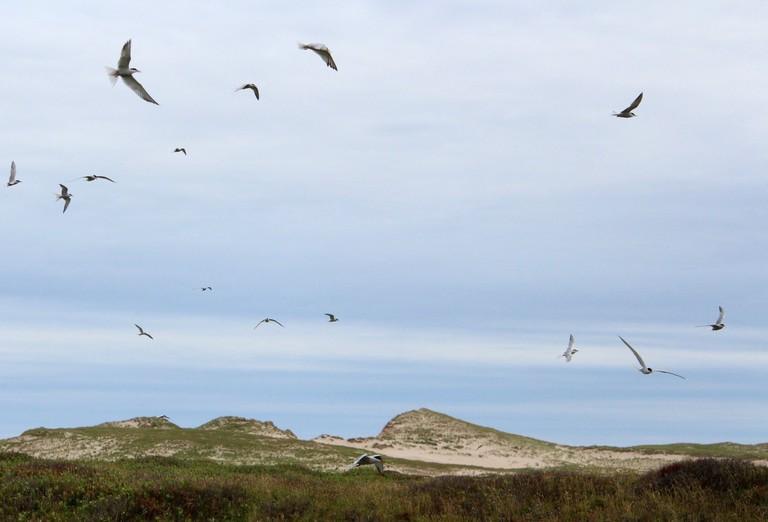 ternsbirds