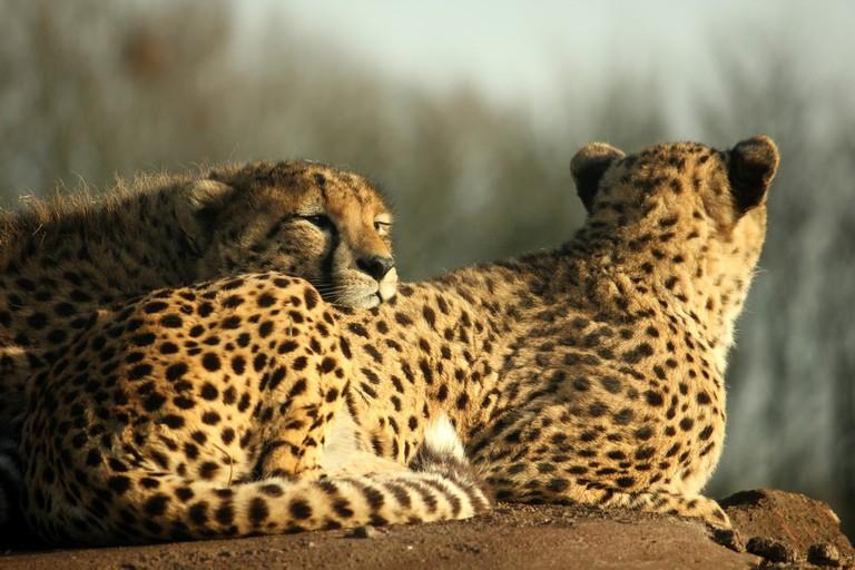 The Asiatic Cheetah | ©Henry Bush:flickr