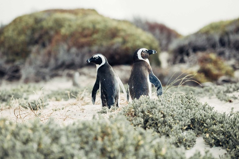 The-Most-Scenic-Road-Trips-to-Take-Across-South-Africa_Penguins