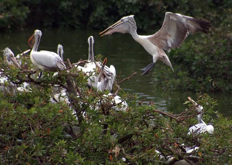 Vedanthangal stork