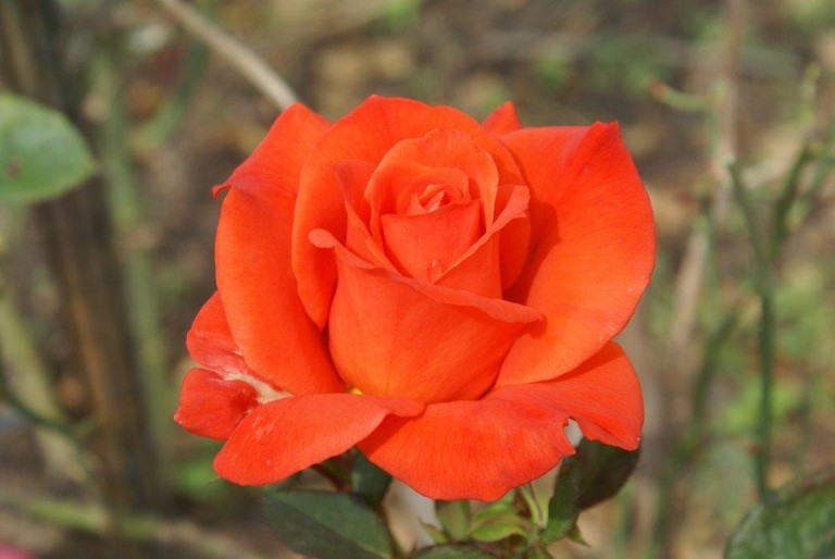 A Free State rose