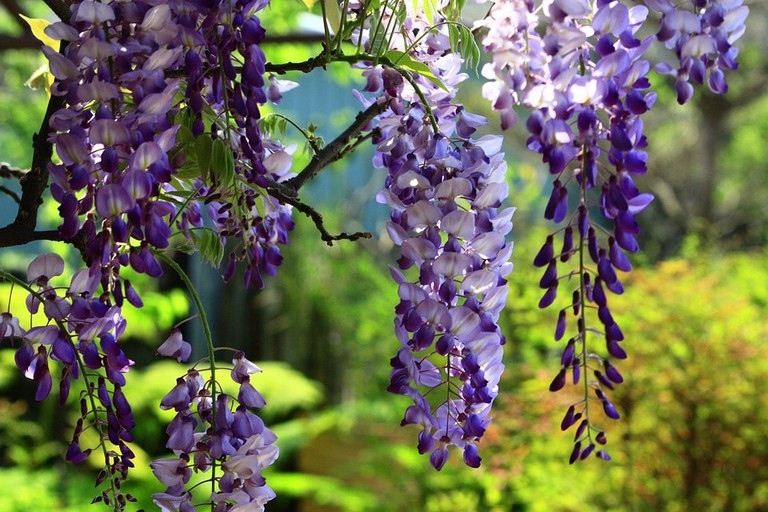 wisteria-2356259_960_720