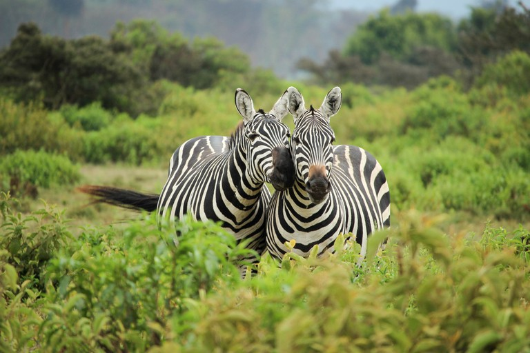 Things tourists should never do in South Africa_zebra