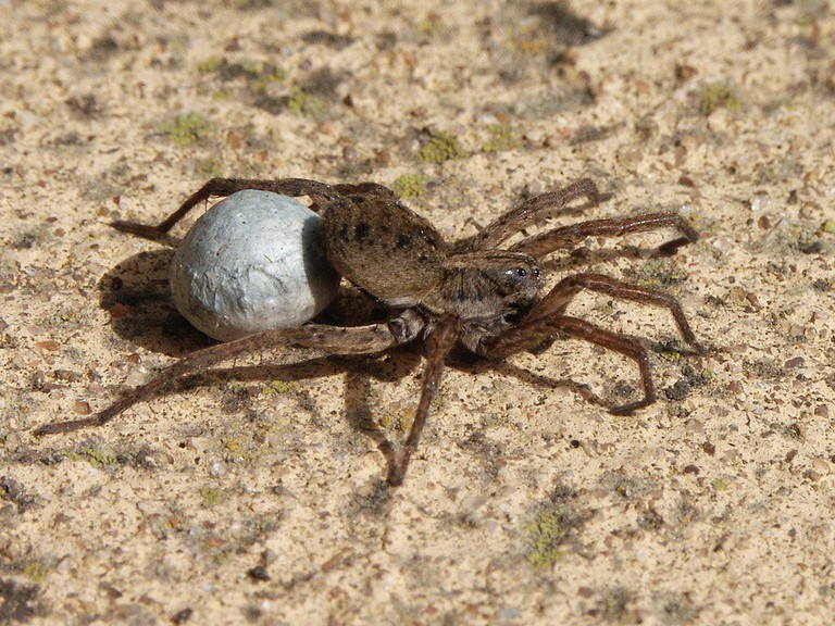 1024px-20071030_Wolf_Spider_Carrying_Egg_Sac_(Cropped)