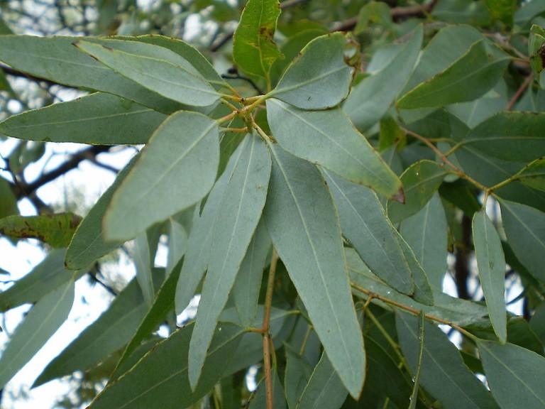 1024px-Eucalyptus_staigeriana_leaf