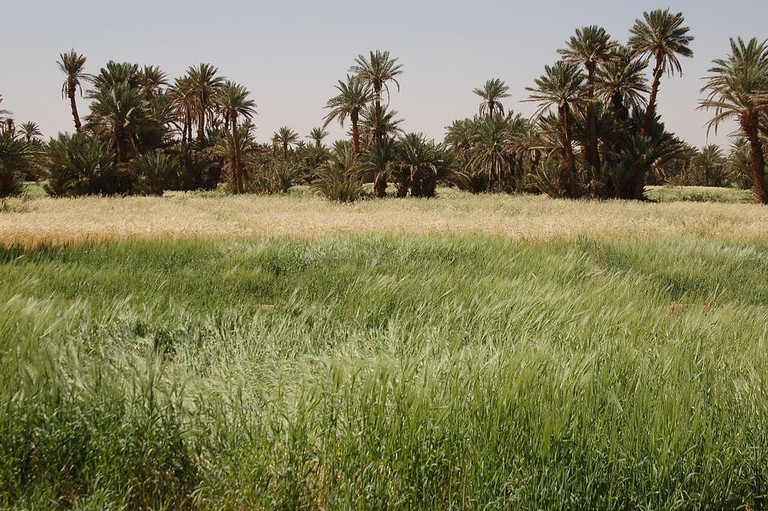 1024px-Fields_in_Mhamid_oasis,_Morocco
