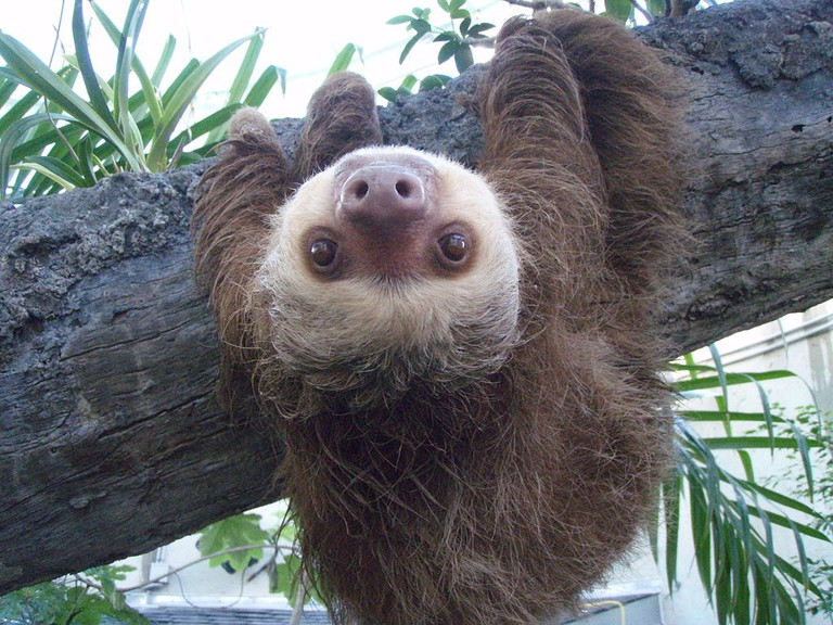 1024px-Two_toed_sloth
