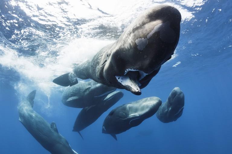 Sperm Whales in BBC's Blue Planet II | © Tony Wu