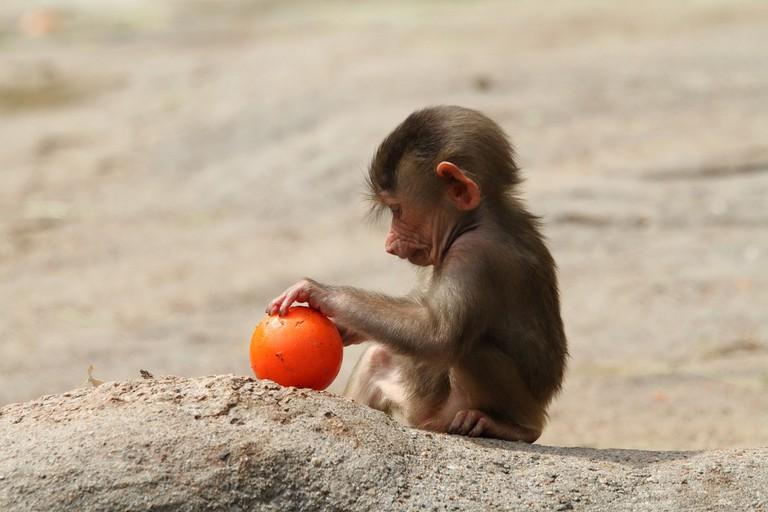 baboon-989132_1920