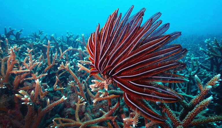 Barren_Island_feather_star_and_branching_coral