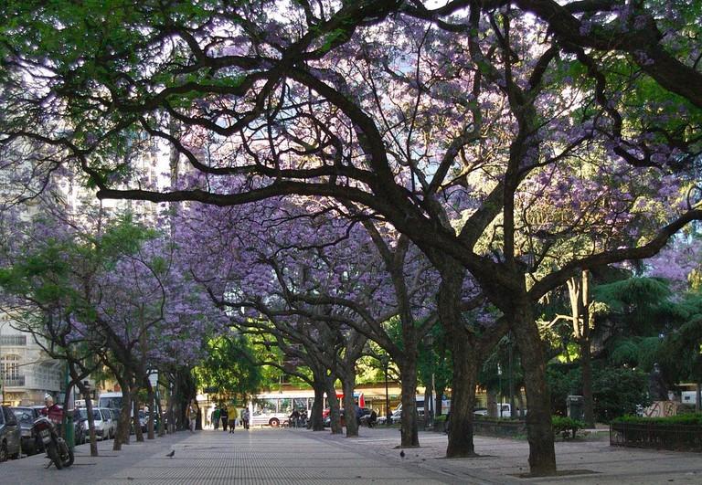 Jacarandas blooming in November in Buenos Aires