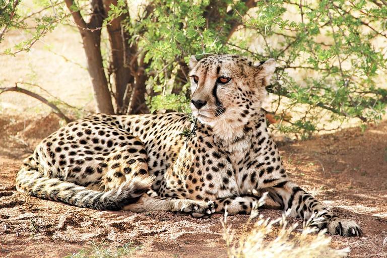 cheetah-864747_1280