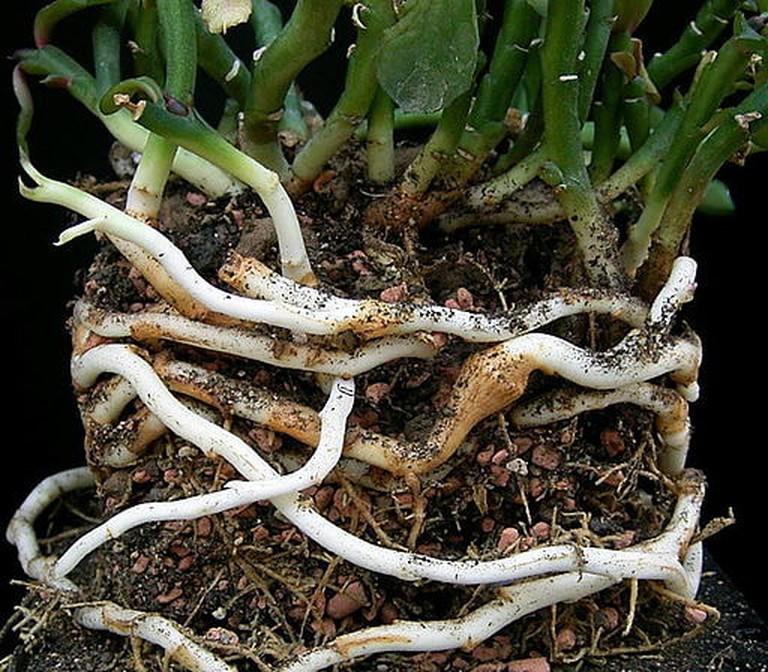 Euphorbia_rhizophora2_ies
