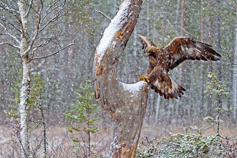 Golden eagle in snow