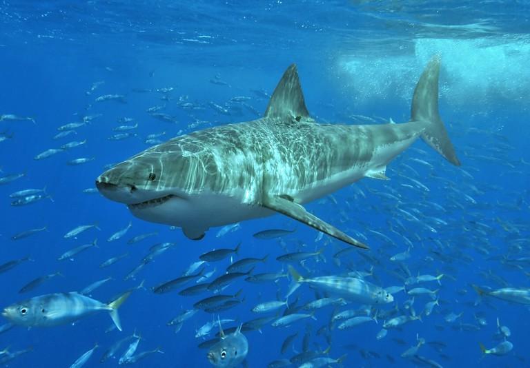 Great white shark in South Australia   © Terry Goss:Wikimedia Commons