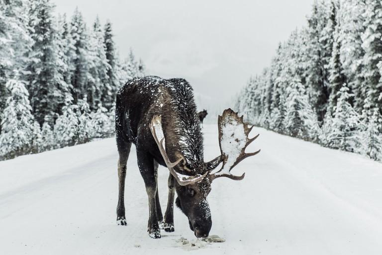 Moose on the loose | © Ivars Krutainis / Unsplash