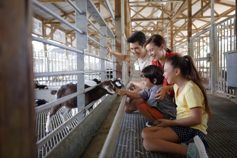 Goat feeding at Hay Dairies Goat Farm Kranji Countryside