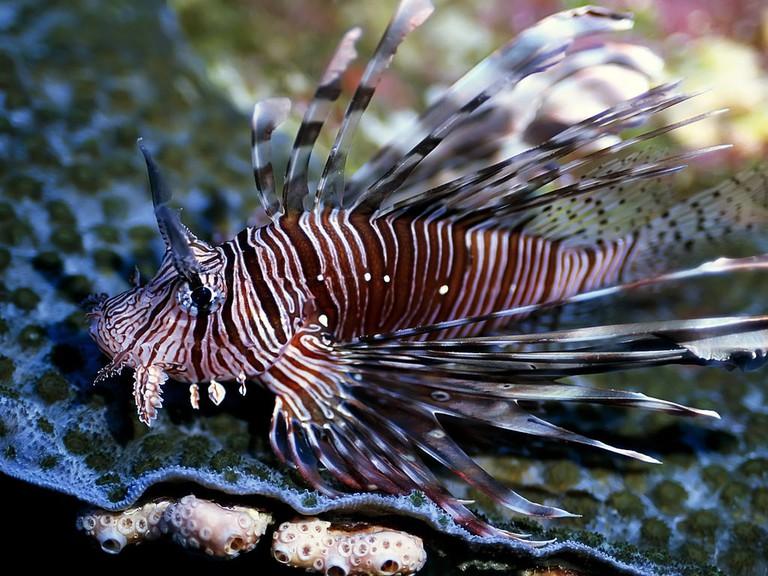 Lion fish in Mabul Island