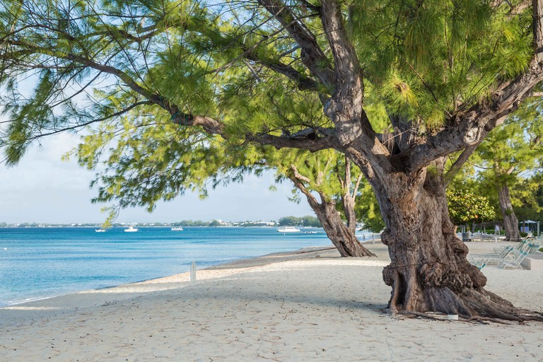 Mighty Casuarina Pine Trees on Seven Mile Beach on Grnd Cayman, Cayman Islands.