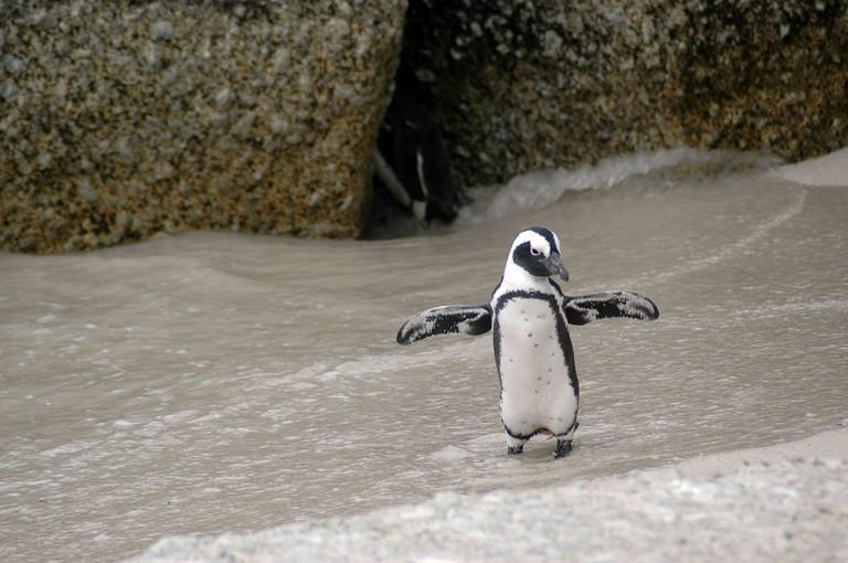 magellanic-penguin-216080_1920