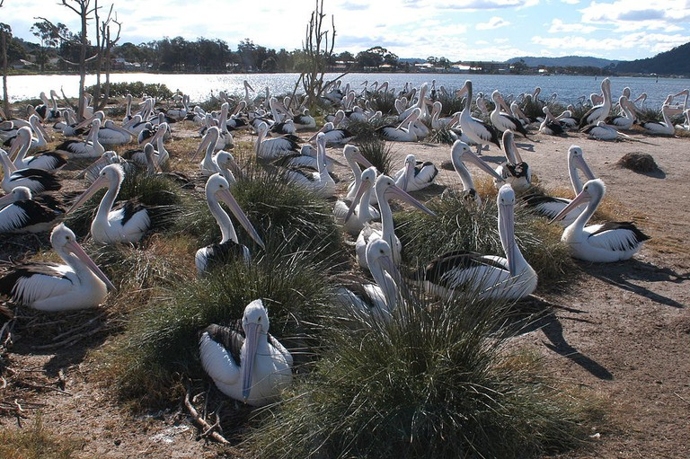Pelicans in the Brisbane Water National Park   © Doug Beckers:Wikimedia Commons