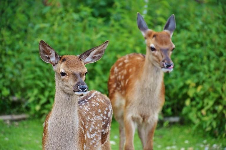 roe-deer-1482712_640
