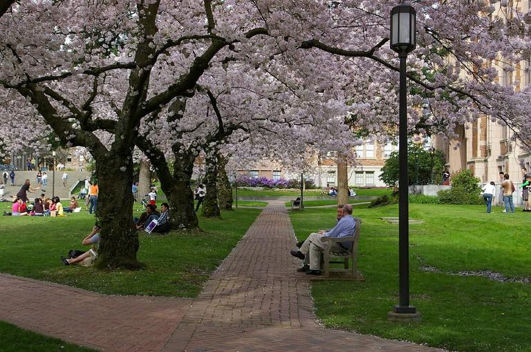 University of Washington Cherry Blossoms | © Riccardo Rossi / Flickr