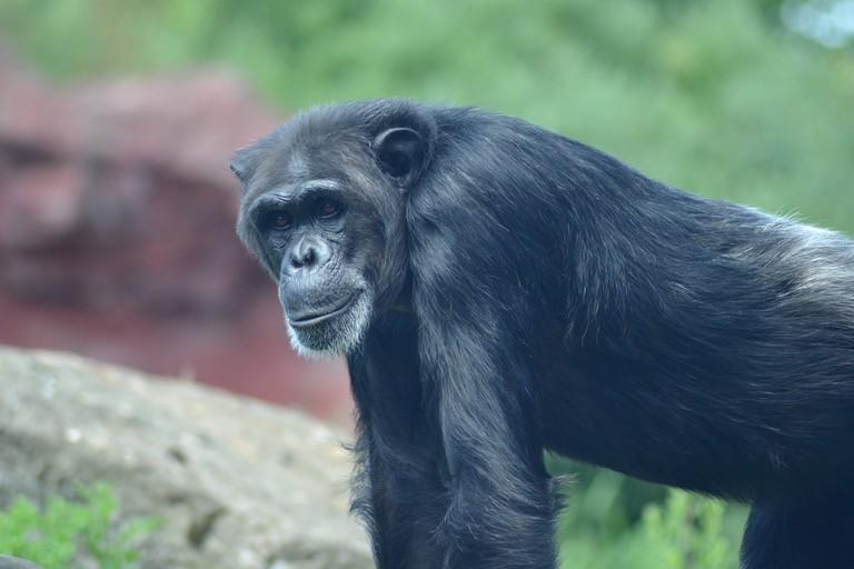 An old monkey