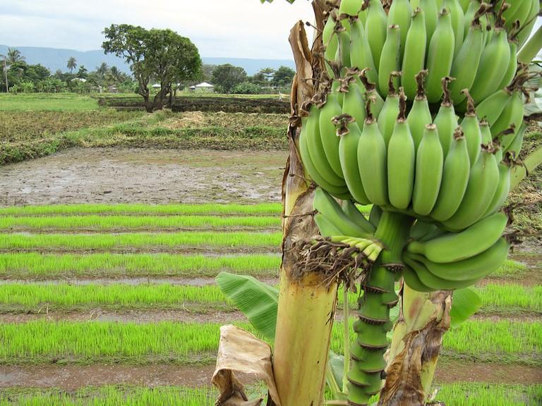 Rice and banana plantation