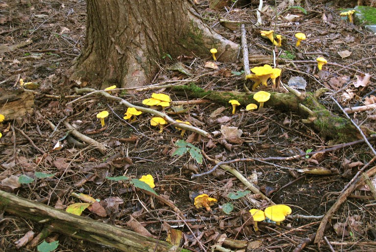 Chanterelle in the wild
