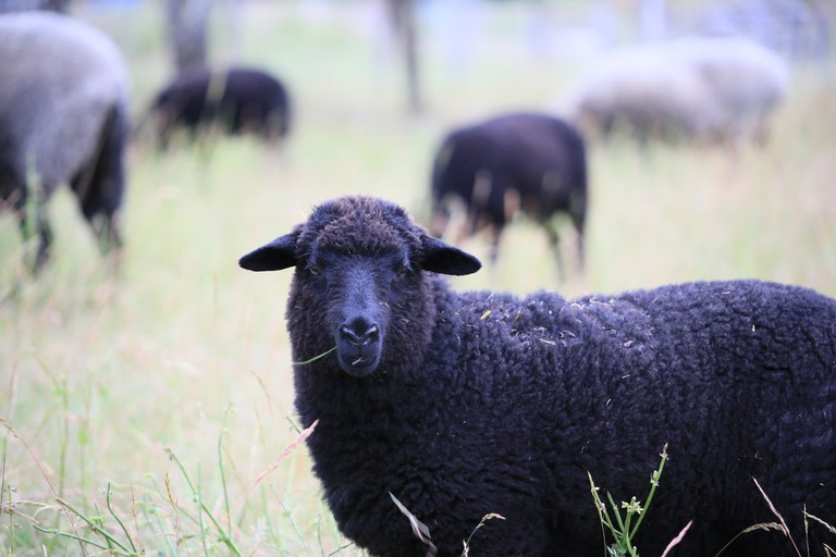 Black Sheep | © Pascal Volk / Flickr
