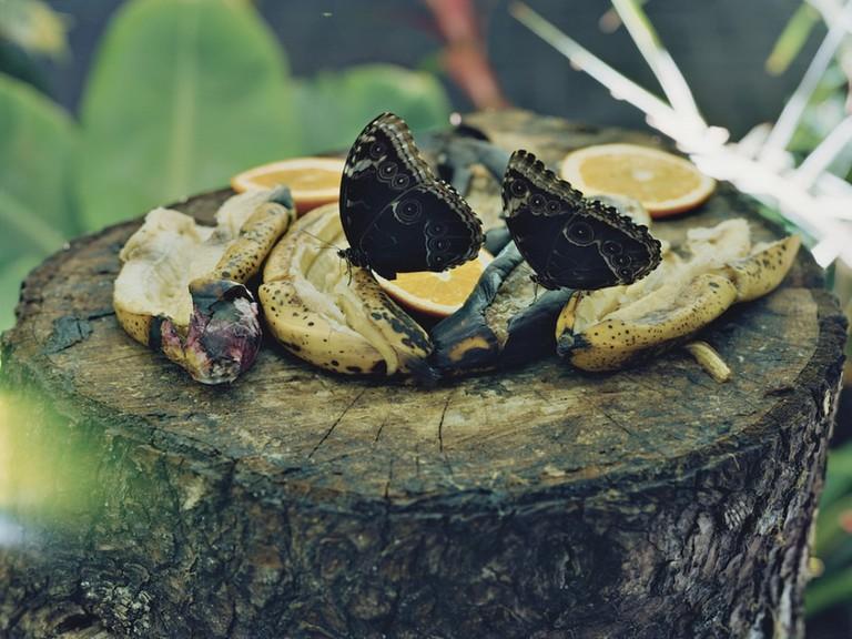 A photograph by Torbjørn Rødland of butterflies eating fruit
