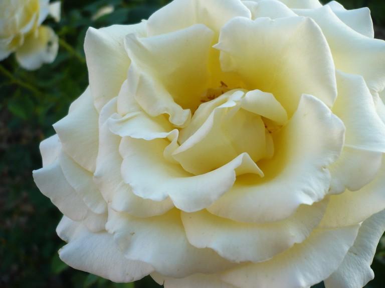 Ruža - Rose | © the third dream/Flickr