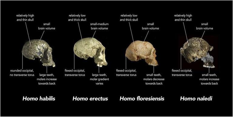 Comparison of different hominid skulls
