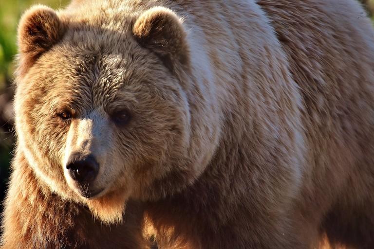 european-brown-bear-2193732_1920