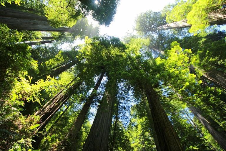 Giant Sequoia | Pixabay 2