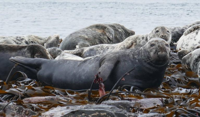 Grey seals on the Farne Islands | © Henry Burrows Flickr
