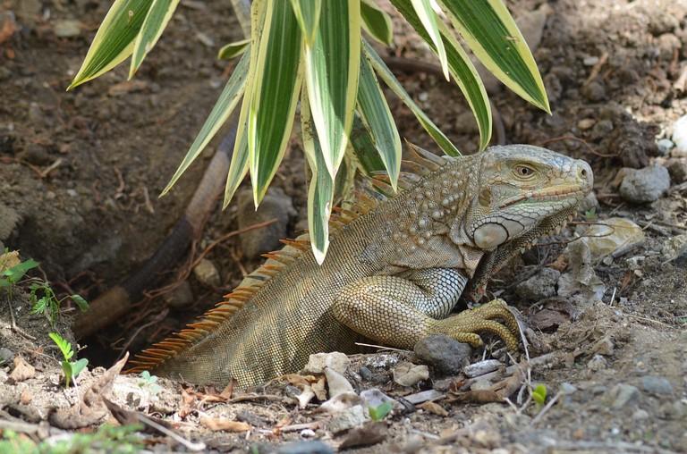 iguana-1178349_1280