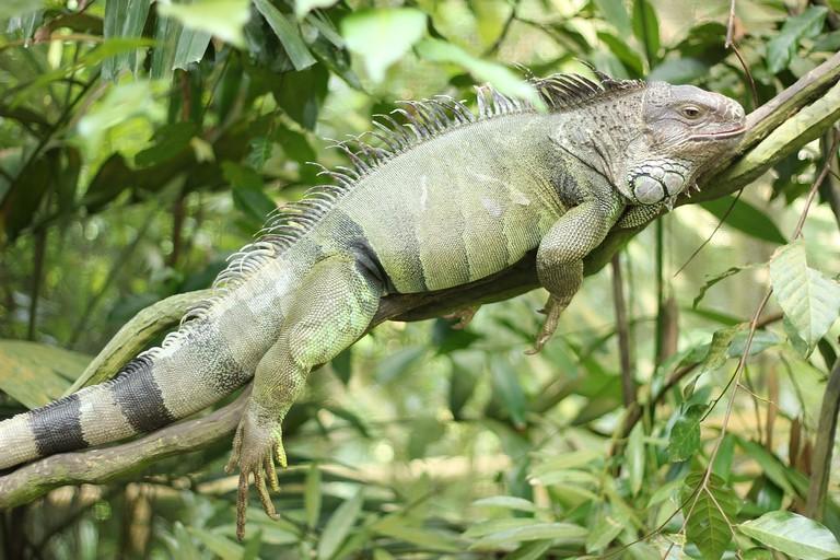 iguana-2737751_1280