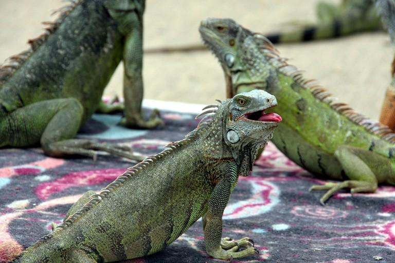 iguana-2880917_1280