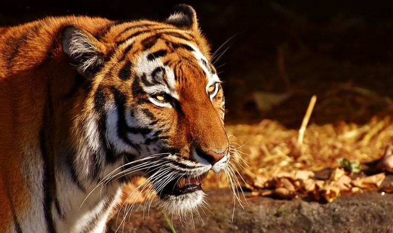 Predator Fur Cat Female Beautiful Tiger Dangerous