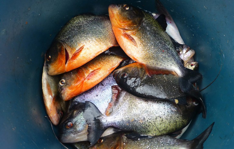 Fresh haul of Piranha | © guentermanaus/Shutterstock