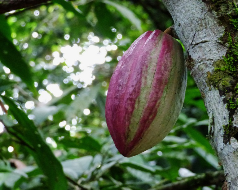 Cacao | © Heather Rhoades/Flickr