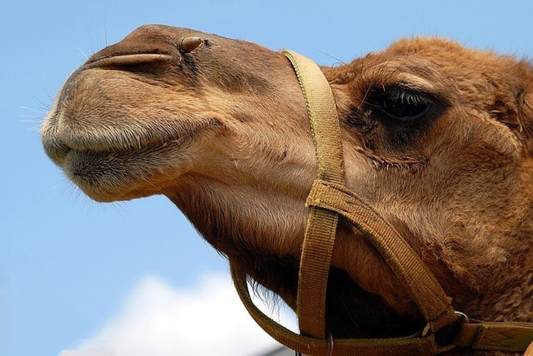 """Camels were injected with Botox so they could win the contest (stock photo) 