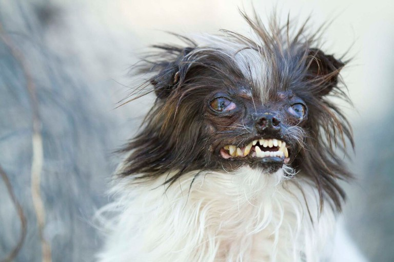 Image courtesy of World's Ugly Dog Contest